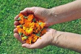 TAIMETARK SOOVITAB: need on kõige olulisemad ravimtaimed, mida kevadsuvisel ajal varuda!