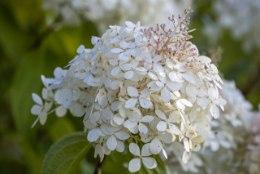AIATARKUS | Tule hortensiate kaunisse ja põnevasse maailma
