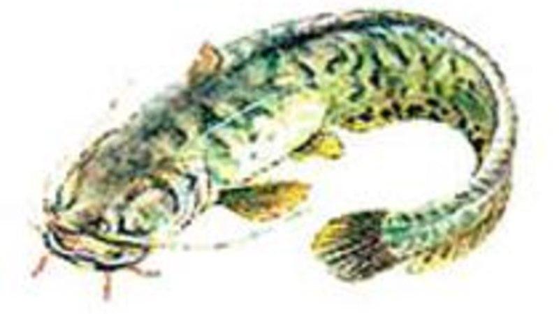 Ida-Virumaa kalur püüdis Soome lahest haruldase säga