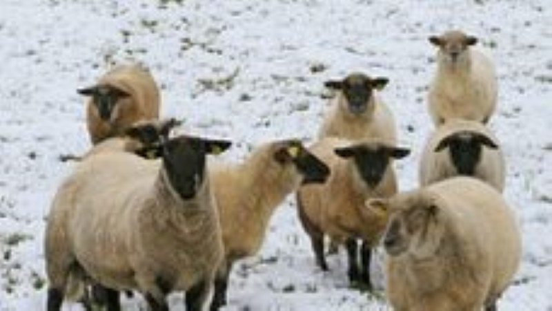Rammu saare 10 hüljatut lammast ähvardab mahalaskmine