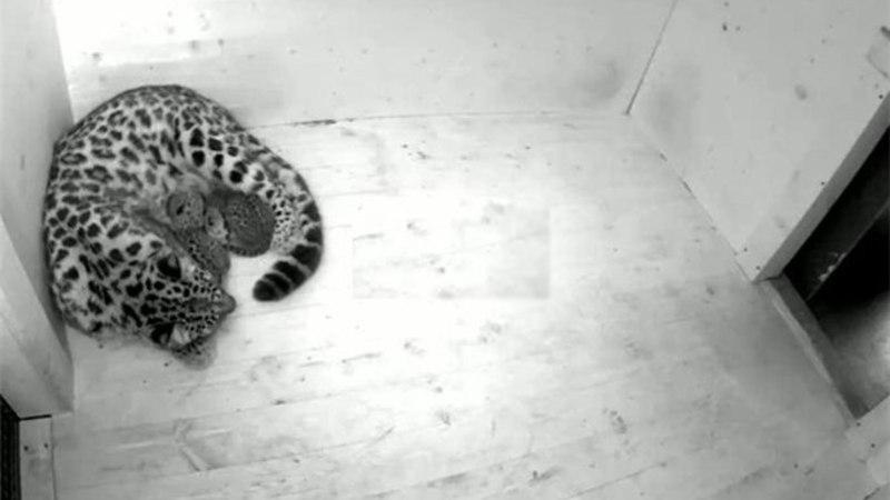 Kaks poega ilmale toonud leopardiema Darla pole veel söönud ega joonud