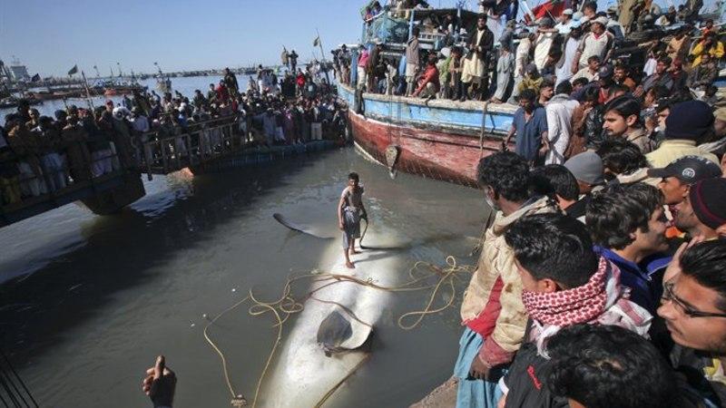 PÜHA PÜSS: kas see on maailma suurim hai?