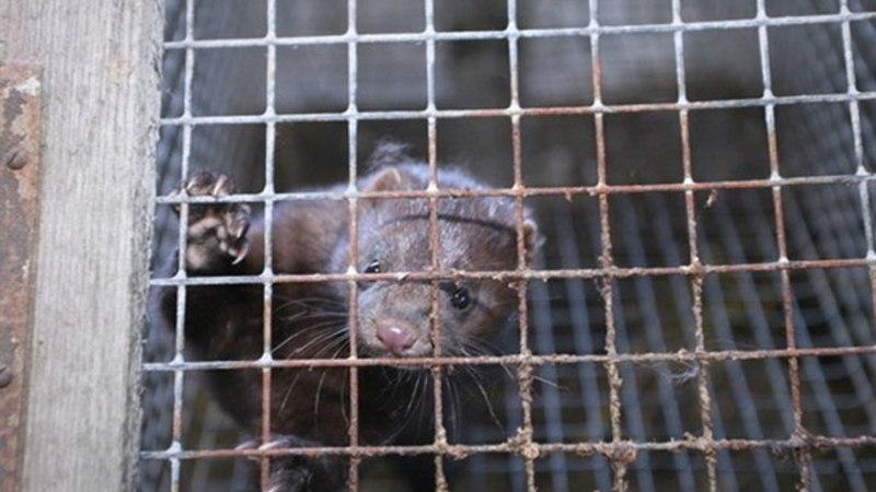 Loomakaistjad: Karjaküla karusloomafarmis rikutakse loomade pidamistingimusi
