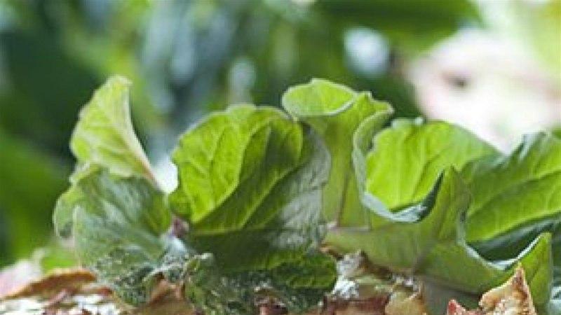 Rabarberi-hapukoorekook