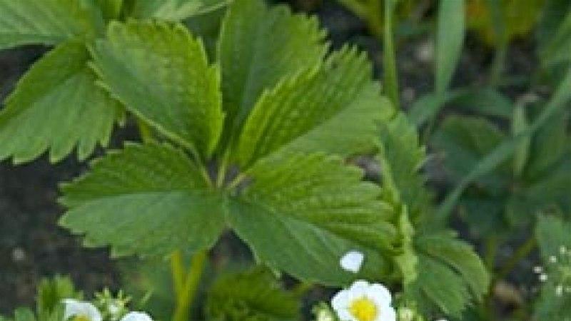 Maasikad rohelise pipra marinaadis