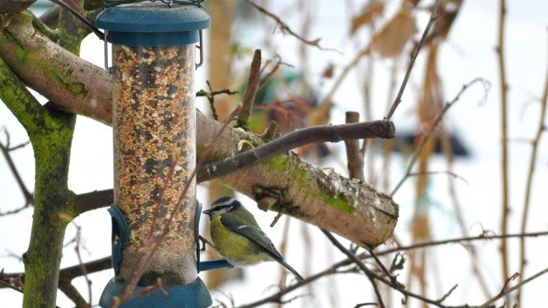 Nõuandeid aialindude talviseks toitmiseks