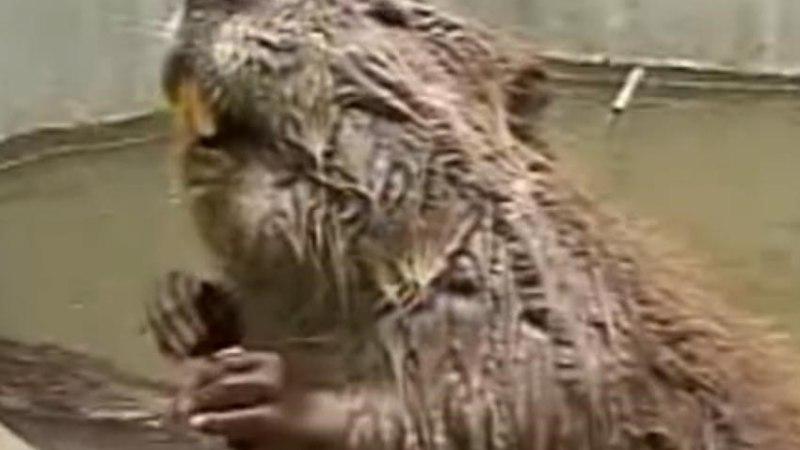 VIDEO: kobraste hindamatu näoilme, kui nende tammid ära lõhutakse