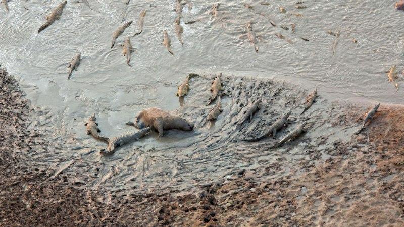 FOTOD: krokodillid kuulutasid jõehobudele sõja