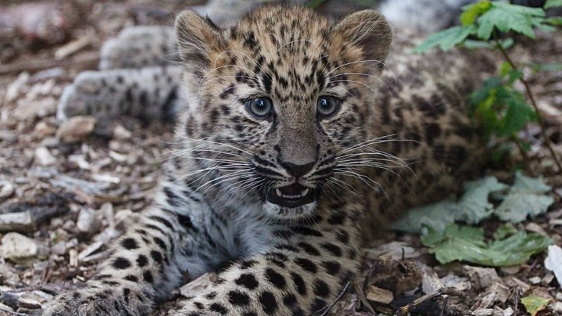 GALERII: Tallinna loomaaia amuuri leopardi kutsikad mängivad aktiivselt