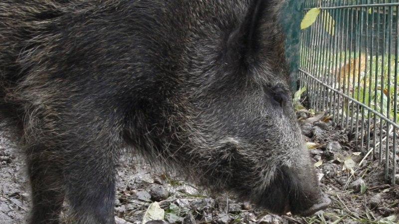 Valgamaal leitud surnud metsseal diagnoositi sigade Aafrika katk