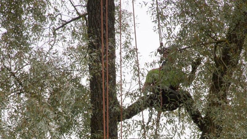 Linnapuude saatuseks on saag, nagu metsapuudelgi