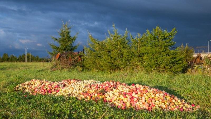 PETTUNUD VÕRUKAS: miks söödavad eestlased oma lastele välismaiseid õunu, kui puud on puhastest kodumaistest viljadest lookas?