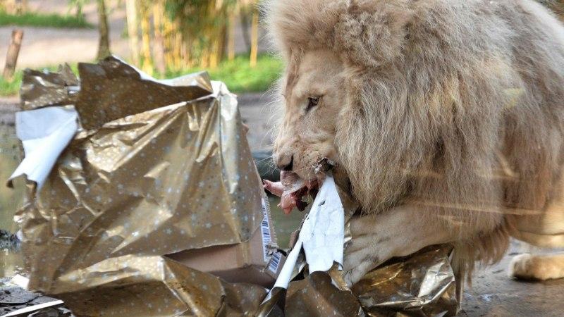 GALERII |Grislikarud, lõvid ja leemurid avavad jõulukinke