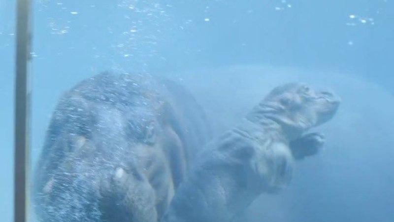 ESIMENE SUPLUS: loomaaias sündis pisike jõehobu