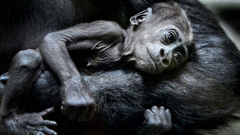GALERII | Loomaaed näitas pisikest gorillabeebit