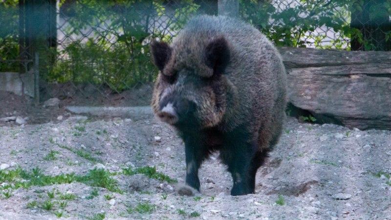 Tallinna loomaaia sigade juurde pääseb vaid üle desomattide