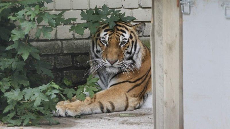Meestelõhn peletas tiiger Pootsmani jäätisest eemale