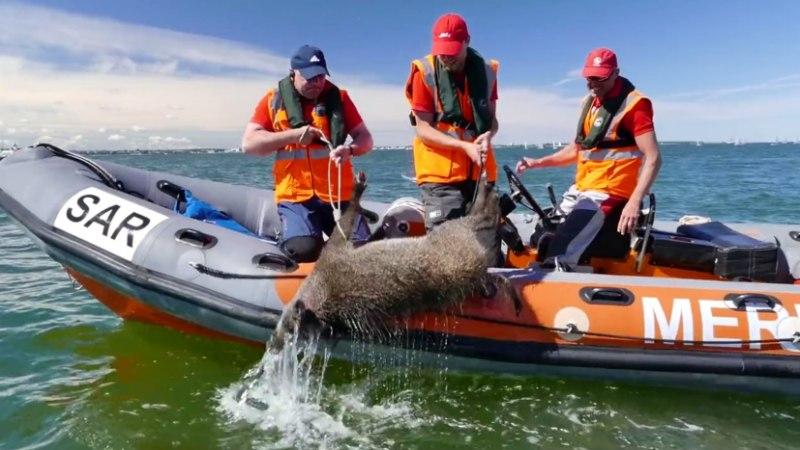 Vabatahtlike merepäästjate tööd: metssiga jahtide võistlusrajal ja metsa alla sõitnud paat
