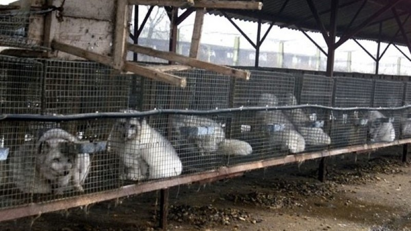 Loomade eestkostjad: karusloomafarmides pole võimalik loomade heaolu tagada