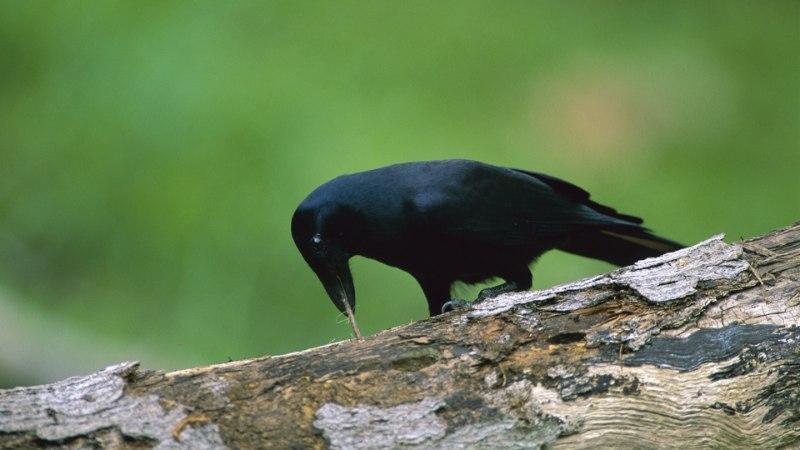 Linnuaju pole sõimusõna: meie sulised sõbrad on sama nutikad kui ahvidki