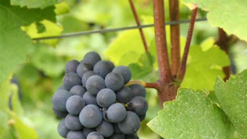 VIDEO: Kuidas valmib punane vein?