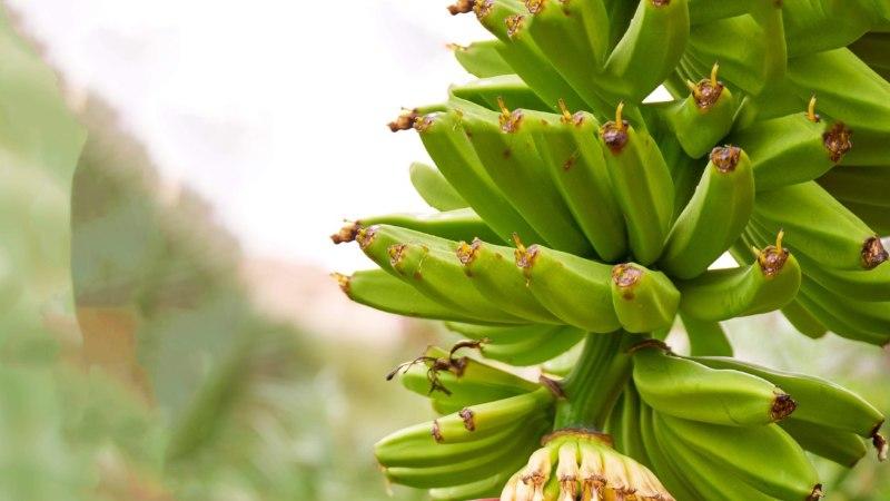 Süüa või mitte: banaanid kaitsevad neere, aga teevad paksuks