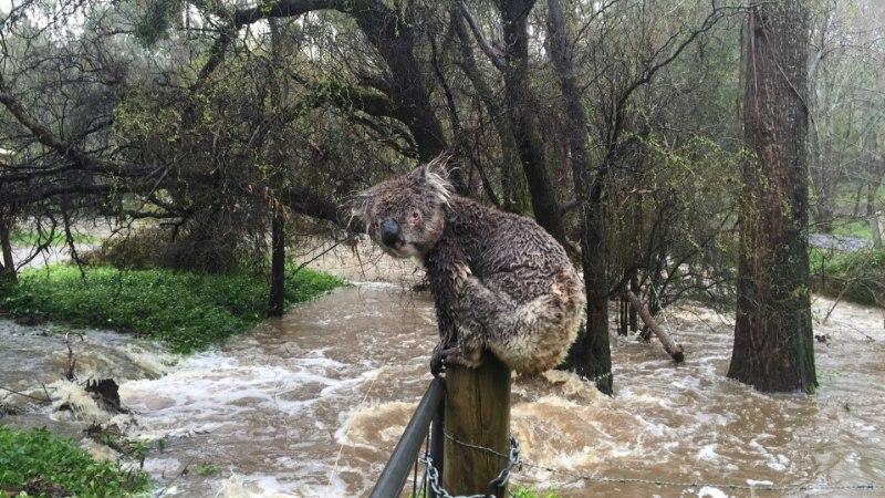 VIDEO   Kes ripub okstel edasi, kes põgeneb... Austraalias möllav hiigeltorm kimbutab koaalasid
