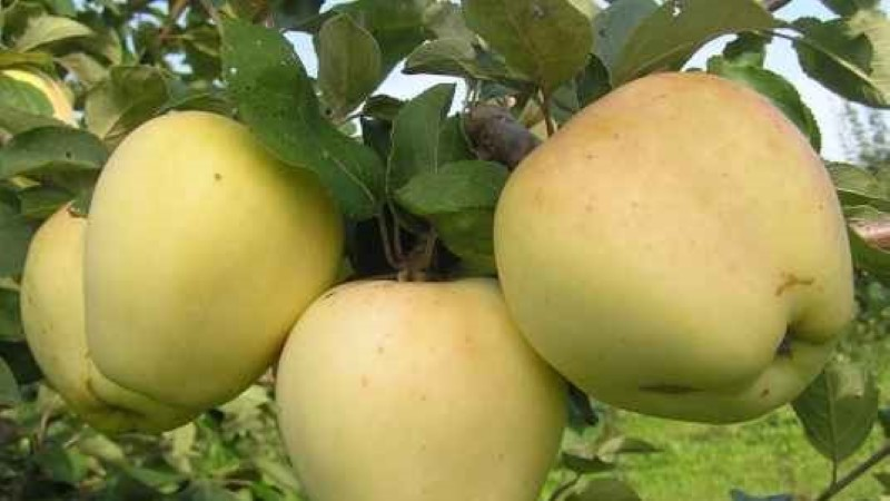 Kompotti tee magusatest, moosi pigem hapudest õuntest