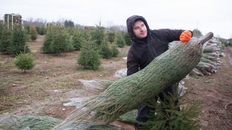 Taanlane tellib jõulukuuse Eestist
