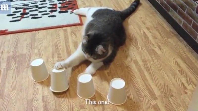 PÄEVA NUNNUVIDEO: Kass demonstreerib oma hämmastavat mälu, tehes äraarvamismängus silmad ette