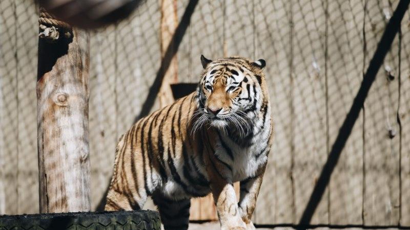 GALERII JA VIDEO | Amuuri tiiger Pootsman sai 6-aastaseks!