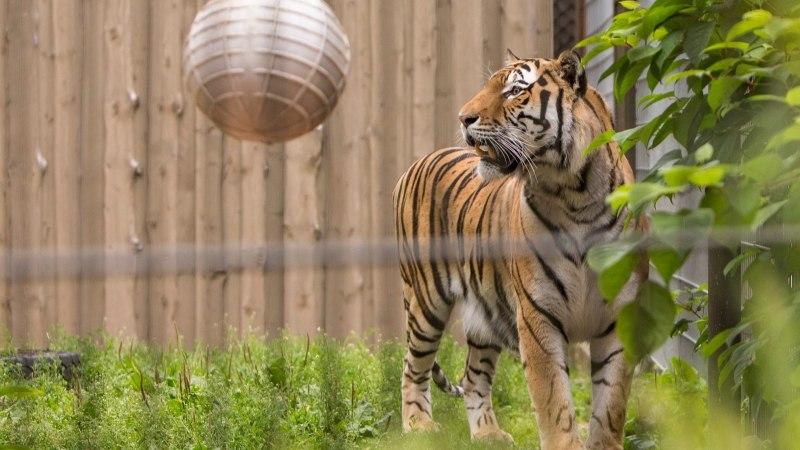 Mine loomaaeda! Hommetähistatakse rahvusvahelist tiigripäeva