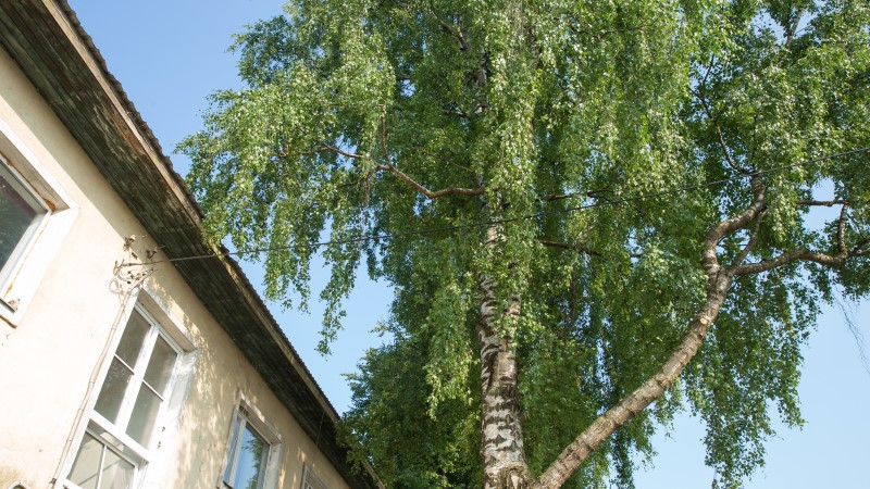 PUUVASTASED: kas meil tuleb end tüve külge aheldada, et linn lubaks akna taga oleva puu maha saagida?!