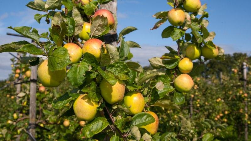 September käes, aga õunad alles toored