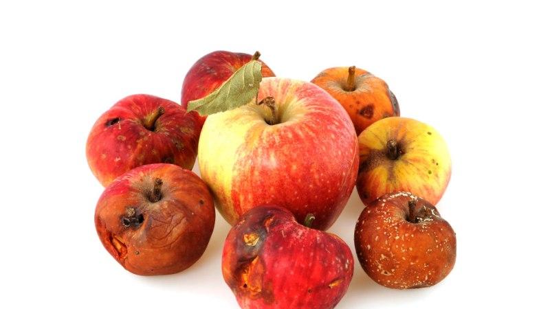 Ettevaatust! Plekilistest õuntest moosi keetes riskid mürgistusega