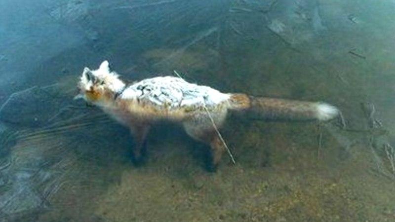 ТОП-10 шокирующих животных, замерзших во льду