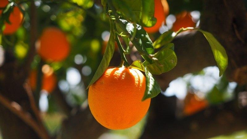 Eksootiline TSITRUSEPUU poepuuvilja seemnetest