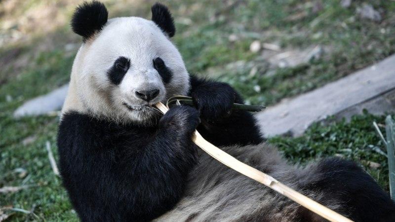 Soomet tabas enneolematu pandapalavik