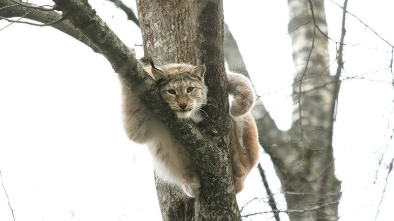 Kas ilves varitseb tõesti puu otsas ja kas metsiselt võib peksa saada?