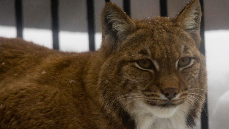 AASTA LOOM: loomaaias räägitakse ilvese elust ja tegemistest