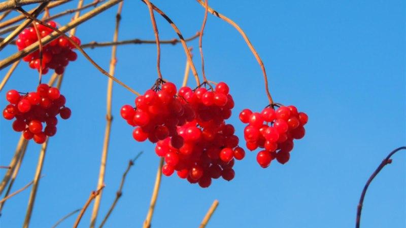Lodjapuu marjad vabastavad kaetusest ja toovad armastuse (  retsept!)