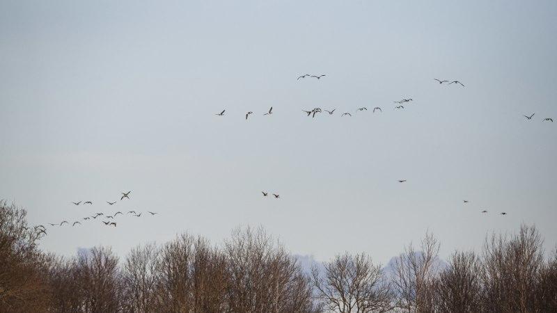 LINNUJAHT KÜTAB KIRGI: peibutusvahendid lendavad inspektori saabudes põõsasse!