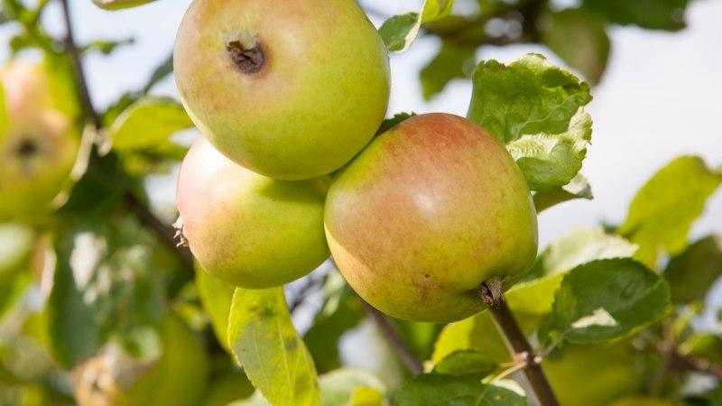 USKUMATU VIDEO | Valgamaal kannavad õunapuud tänavu juba teist saaki