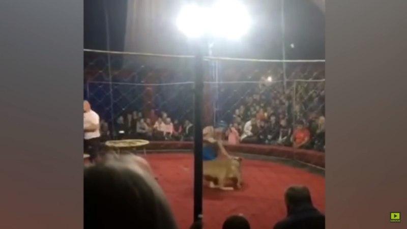 Нападение львицы на ребенка в цирке сняли на видео