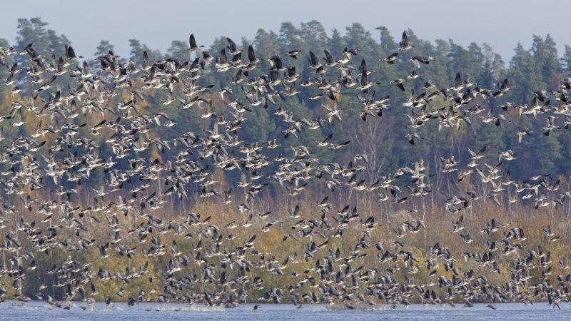 Eesti on lindude rändeteel tankla, kus süüa ja tiiba puhata