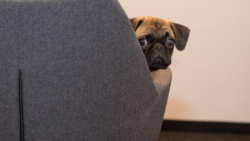 Koer tööle kaasa! Mida teha, et rahul oleksid kolleegid, koer ja omanik?