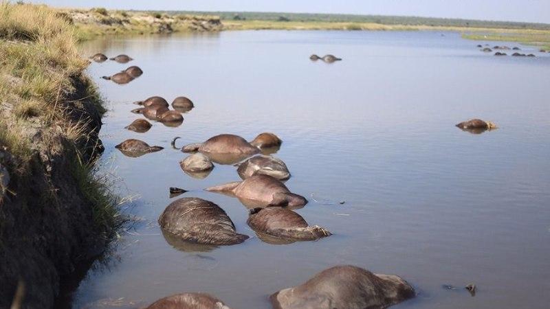 PAANIKA: lõvide eest põgenemisel uppus kuni 500 pühvlit