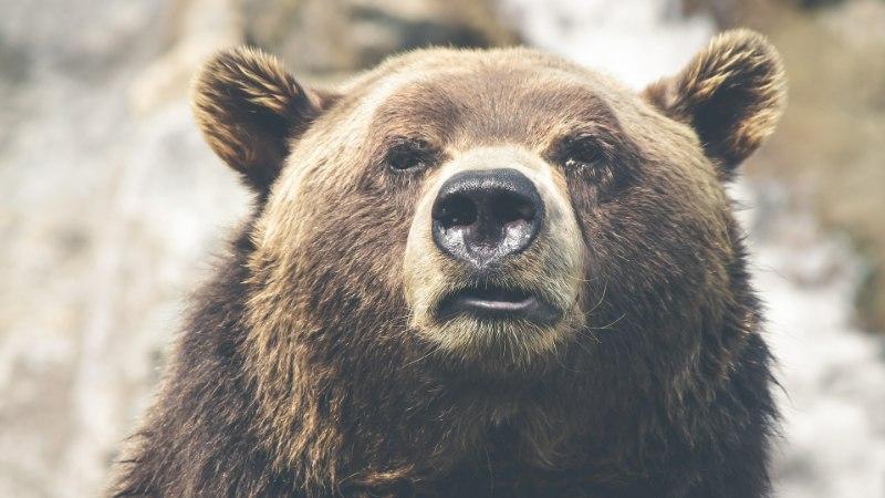VIDEO | Uskumatu: Rapla kesklinnas uitasid karud ringi