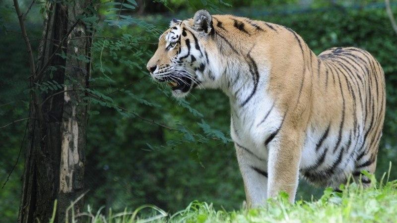 Amuuri tiiger Pootsman läheb Tšehhi järglasi andma