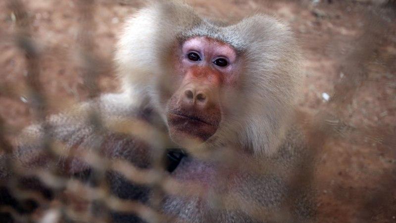 Бабуин с сердцем свиньи прожил больше полугода